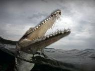 saltwater-crocodile_10925_990x742