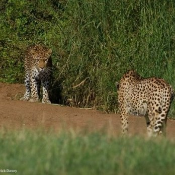 Standoff between male cheetah and male leopard at Phinda