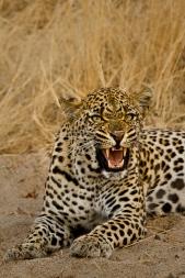 Tamboti female 2 - 5Oct12 Londolozi