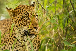 tamboti female in the grass