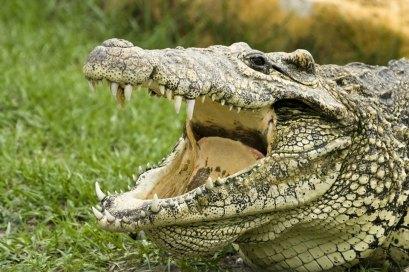 The Cuban crocodile (Crocodylus rhombifer) is a small but aggressive species of crocodile found only in Cuba.