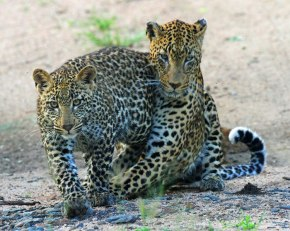 vomba and cub