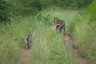 Vomba female and cub
