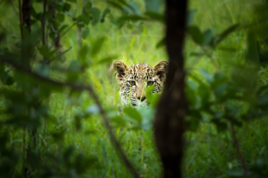 Vomba's cub