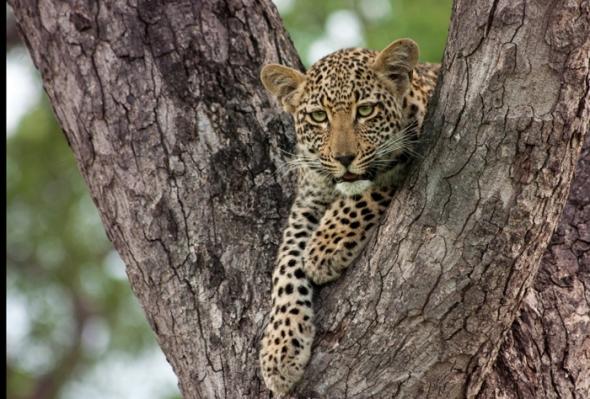 Ximpala-Cub-in-tree-01
