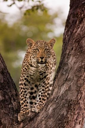 Ximpala-Cub-in-tree-03