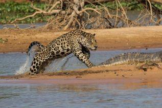 3-jaguar-kills-caiman_71393_600x450