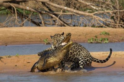 5-jaguar-kills-caiman_71395_600x450