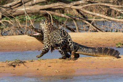 6-jaguar-kills-caiman_71396_600x450