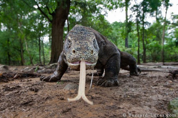A Komodo dragon (Varanus komodoensis) investigates the camera with its long forked tongue.