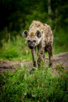 aa Hyena sub-adult