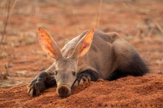 Aardvark by Marco Tonoli