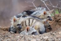 Aardwolf den at Mashatu - Isak Pretorious Wildlife Photography
