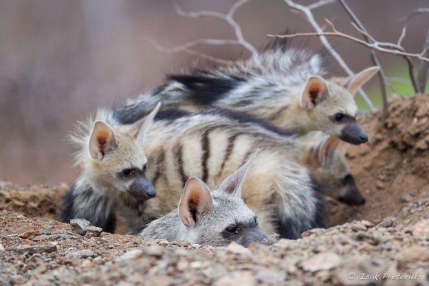 Aardwolf den at Mashatu - Isak Pretorious Wildlife Photography