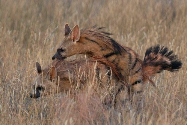 Aardwolf mating