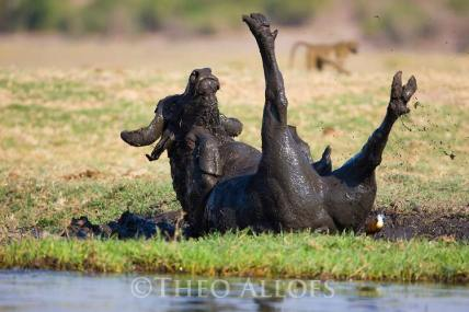 African buffalo taking mud bath on the bank of Chobe River, Botswana