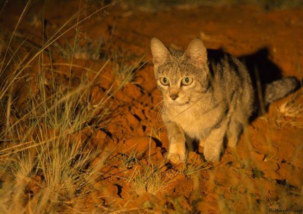 African wild cat at Tswalu
