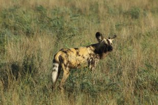 African Wild Dog, also known as a Cape Hunting Dog or Painted Wolf