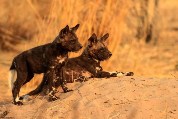 African Wild Dog puppies, photographed by Chantelle Stork.