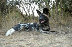 African wild dog - South Luangwa NP, Zambia