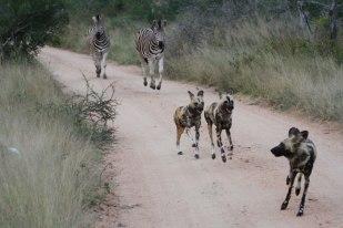 Ahead of zebra