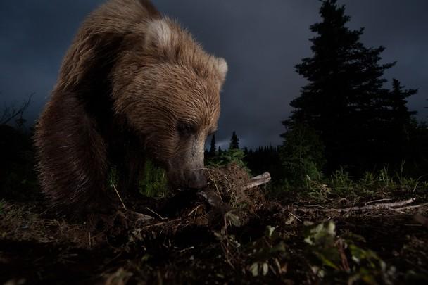 Alaskan Brown Bear foraging