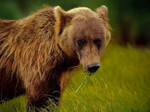 alaskan-brown-bear-green-grass_31774_990x742