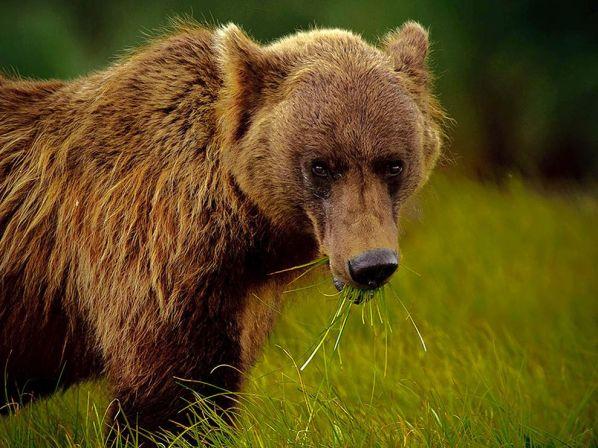 alaskan-brown-bear-green-grass_31774_990x742