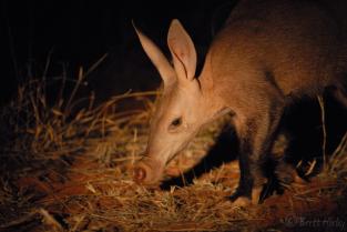 An aadvark was taken by Brett Horley Safari Guide at Tswalu