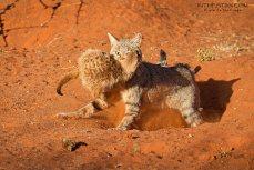 An African Wild cat taking down a Meerkat