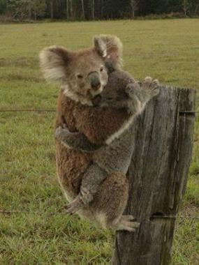 An amazing photo of two gorgeous koalas in the Port Macquarie area during the NSW bushfires.
