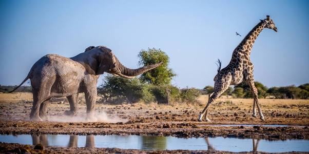 An elephant chases a giraffe away from the waterhole in Nxai Pans, Botswana. Photo by Denis Roschlau.