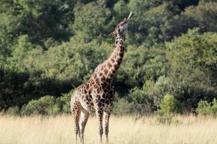 An interesting shot of a Giraffe sucking on a bone...Ingwe Bush Camp by Andrew Keys