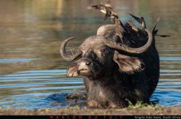 An old buffalo cow stands up after a long wallow
