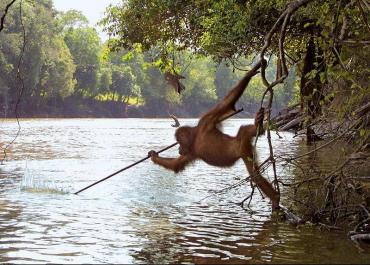 An orangutan from a zoo reintroduced to the wild in Borneo began spear fishing after watching local fisherman.