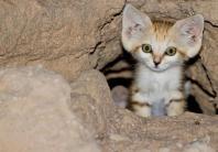 Arabian Sand Cat.