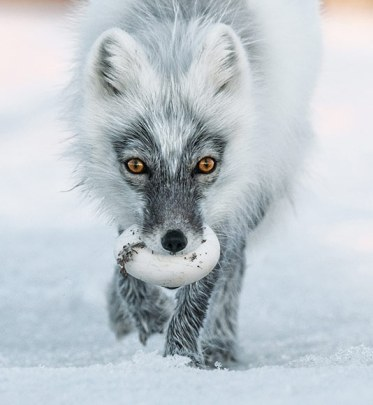Arctic Fox on Wrangel Island by NatGeo