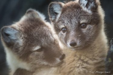 Arctic fox puppies. Copyright © Roy Mangersnes.