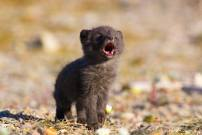 Arctic fox pup's first howl! by Jack Stephens