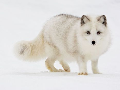 arctic-fox-snow_12097_990x742