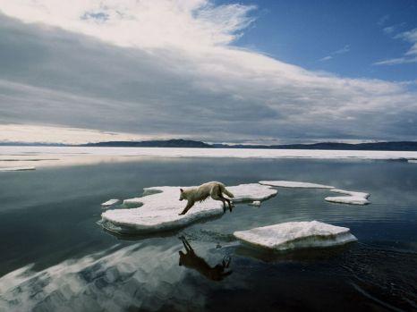 arctic-wolf-canada_3649_990x742
