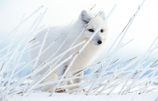Arctic_Fox - Photograph by Paul Nicklen