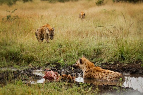 At a stolen kill - Londolozi April 2013