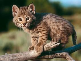 Baby bobcat (Lynx rufus)