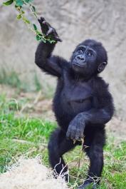 Baby gorilla exploring its environment