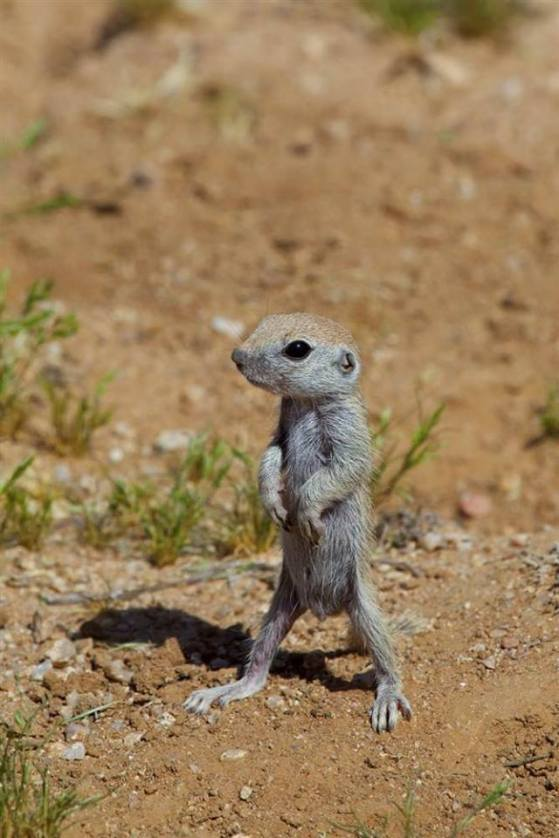 Baby round tailed ground squirrel. First out of its nest