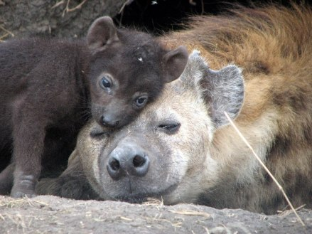 Baby Spotted Hyena and Mama