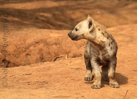 Baby Spotted Hyena (Crocuta crocuta)