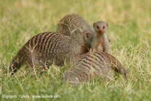 Banded Mongoose family by Ignacio Yufera