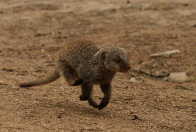 Banded-Mongoose